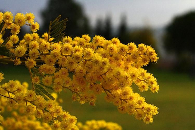 mimosa - algarvehousing.net
