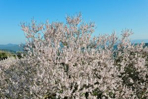 almond trees algarve