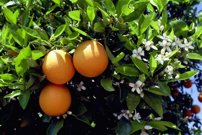 orange blossom algarve