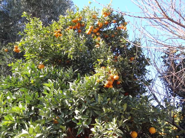 Oranges Algarve
