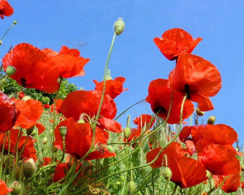 Poppies Algarve
